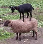A goat on a sheep