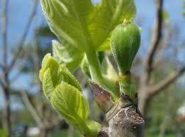 a fig tree beginning to bud